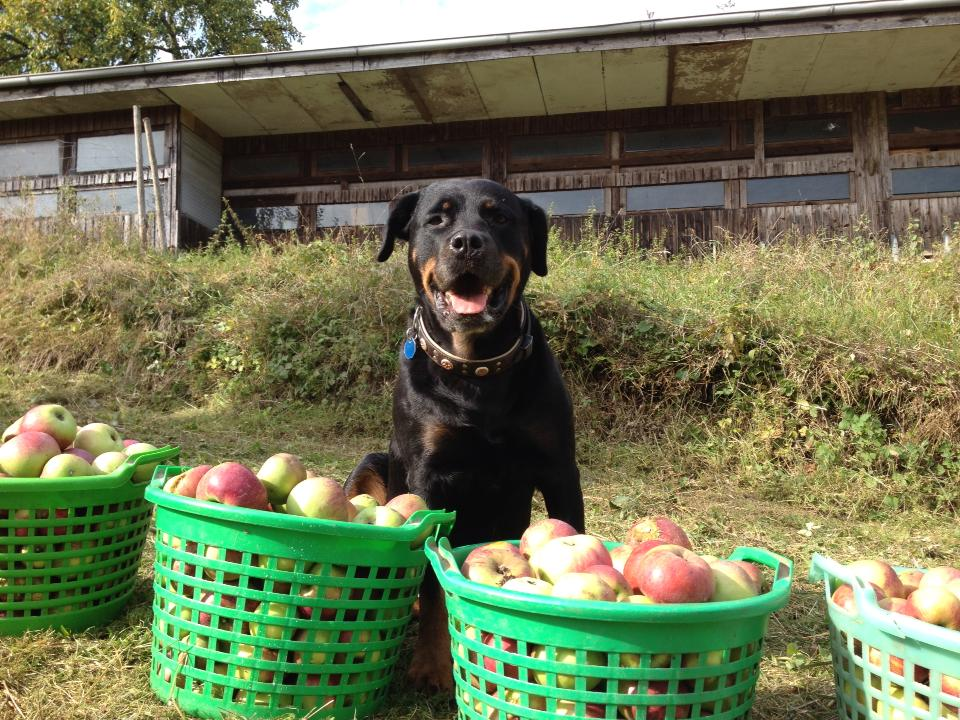 Kira bei der Apfelernte